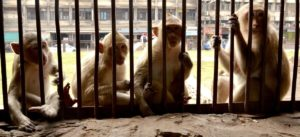 Welcome to the Monkey Temple in Lopburi
