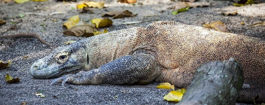 Komodo dragons in the island of Flores