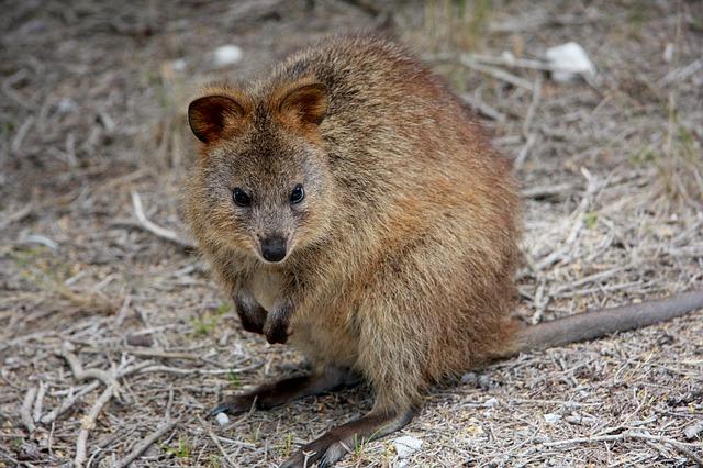 Quokka residents of Rottnest Island Australia