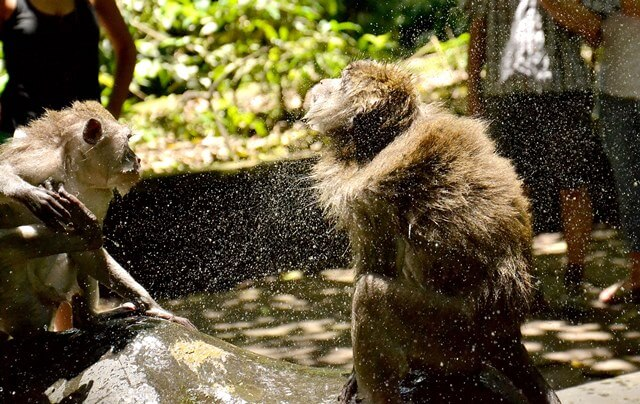How much does it cost to go into the Ubud monkey forest