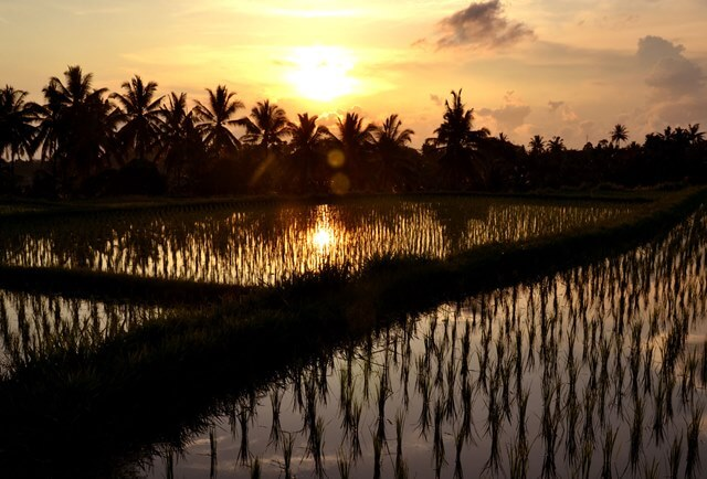 Sunset over the Ubud rice fields