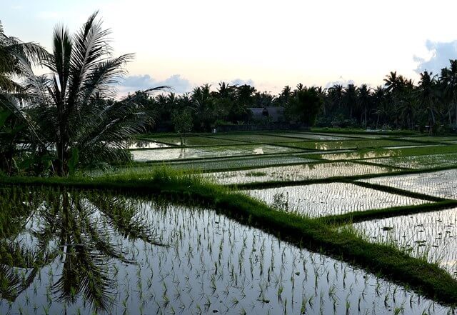 Ubud rice fields in Bali