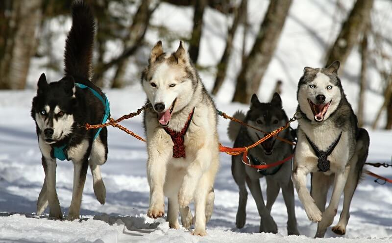 Dogs pulling a sled through the snow in Finnish Lapland