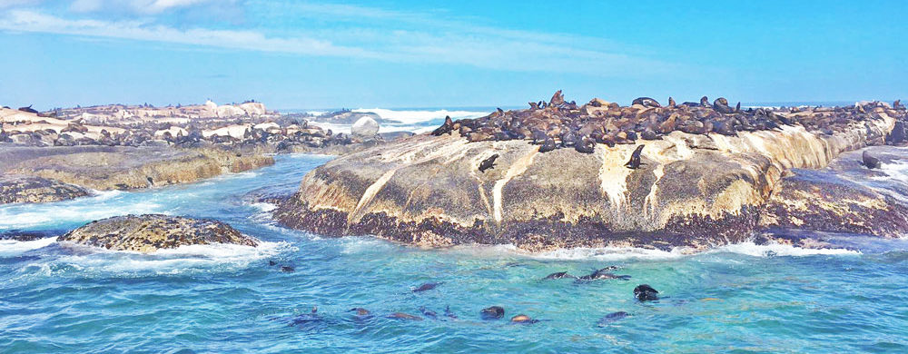 Seal Island Cape Town: Of Great White Sharks and Cape Fur Seals