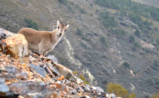 Mountain Goats in the Sierra de Francia's