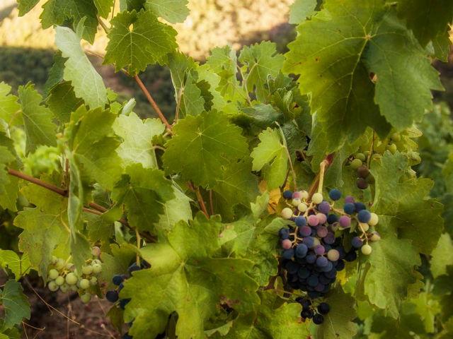 Visiting the vineyards at Versos Microbodega in Spain