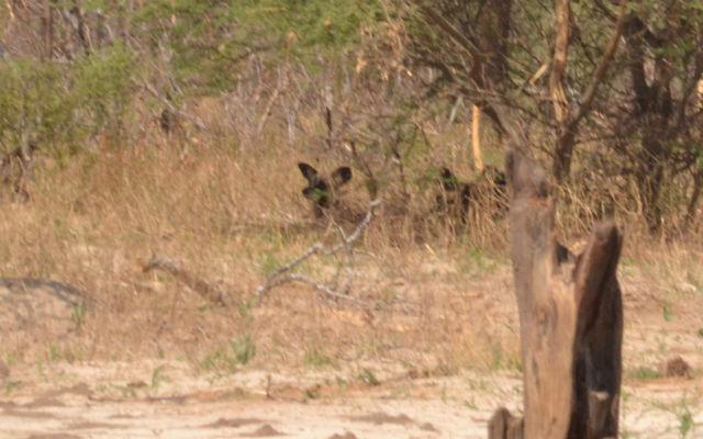 Wild dogs attack elephants