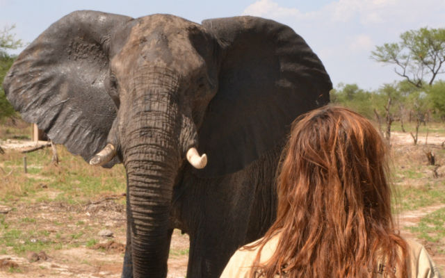 Elephant encounters at Elephant Sands Campsite in botswana