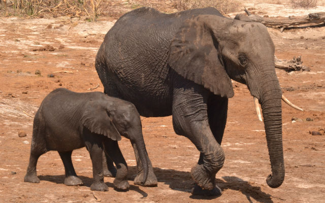 Getting close to wild African elephants