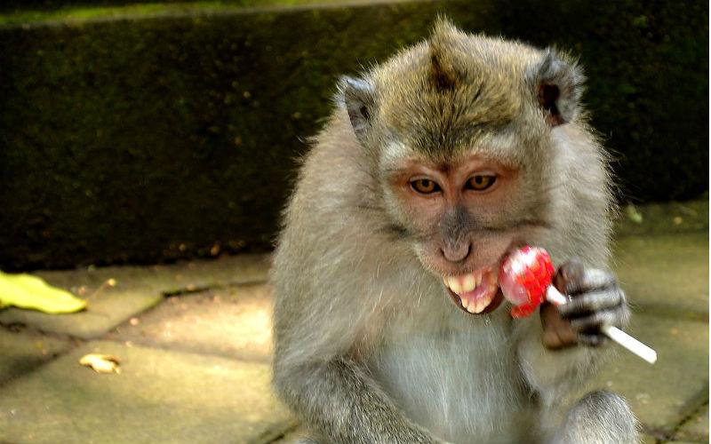 feeding a monkey in Ubud monkey forest can be dangerous