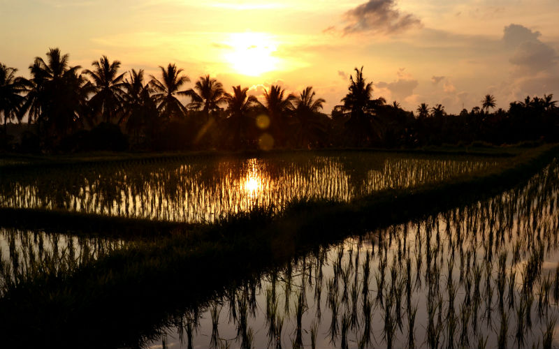 Sunset walk in the Ubud paddy fields