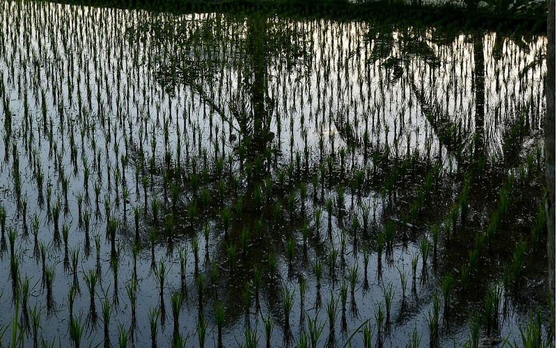 A walk through the Rice Fields of Bali