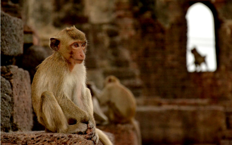 A Monkey ponders in the Prang Sam Yot