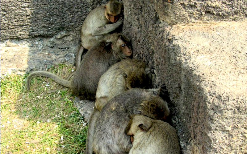 Monkeys hides from the sun in Lopburi