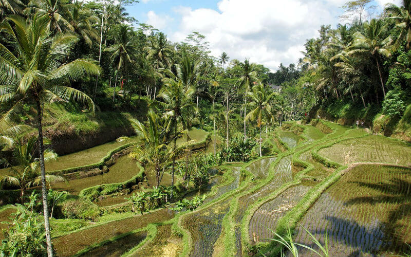 Discover the iconic rice fields of Bali on a scooter