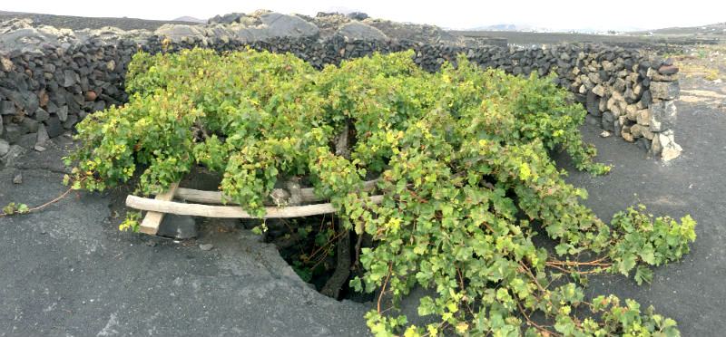 Lanzarote grape vine