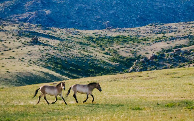 Wild horses roam free in Mongolia
