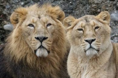 Lions mating in the wild in the Maasai Mara kenya