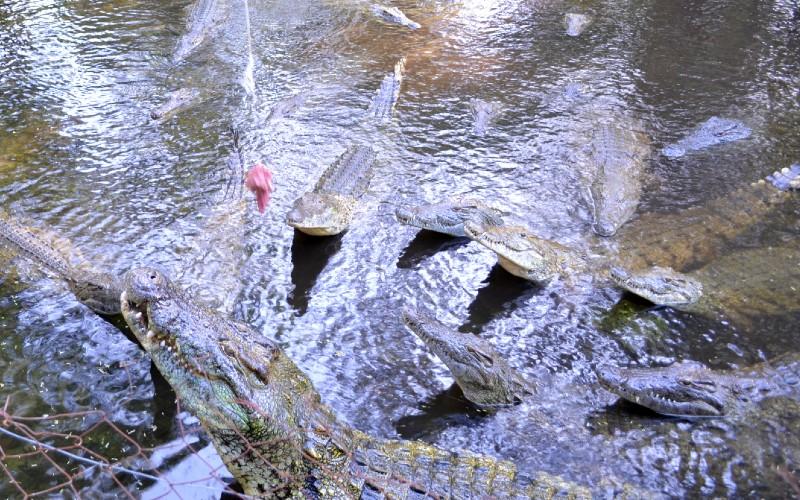 Crocodile feeding at Haller Park