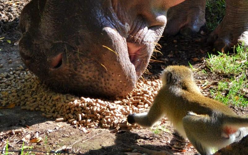 Feeding hippos in Haller Park Mombasa
