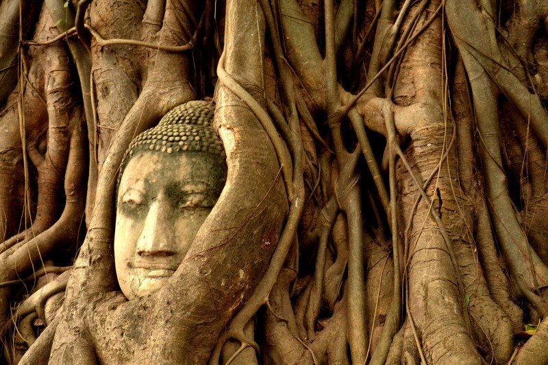 Buddha head in tree at Wat Mahathat temple complex in Ayutthaya Historical Park
