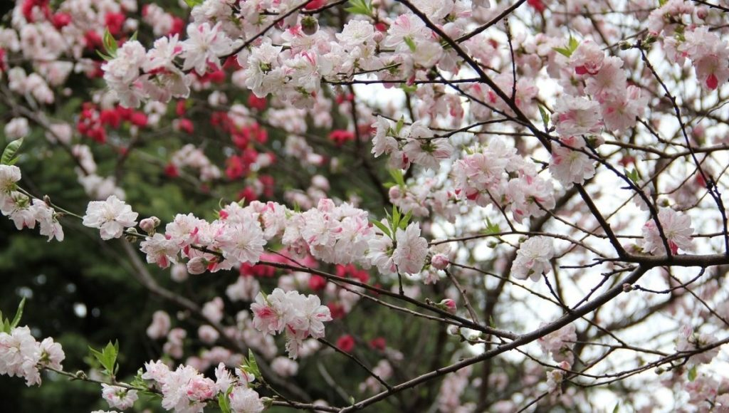 Cherry blossoms in Shinjuku Gyoen National Garden