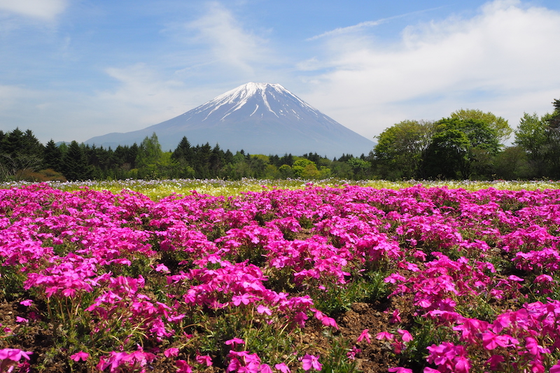 The flowers of the Fuji Shibazakura Festival looking back to Mount Fuji