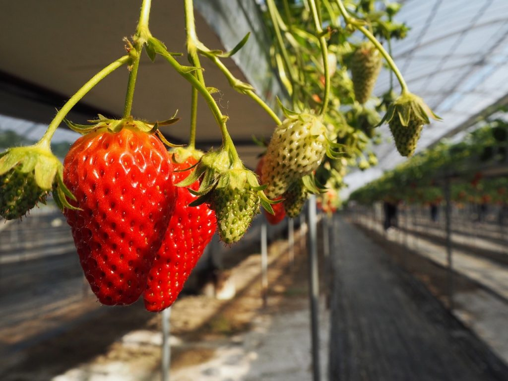 Pick your own strawberries in the Fuji Kawaguchiko area