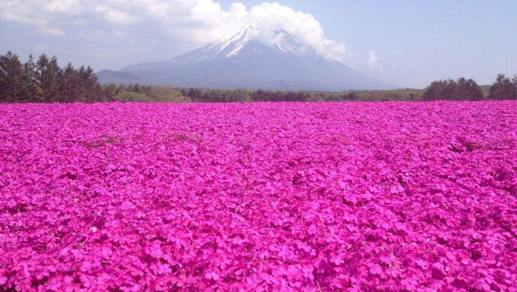 800 000 shibazakura, a pink flower, also called moss phlox