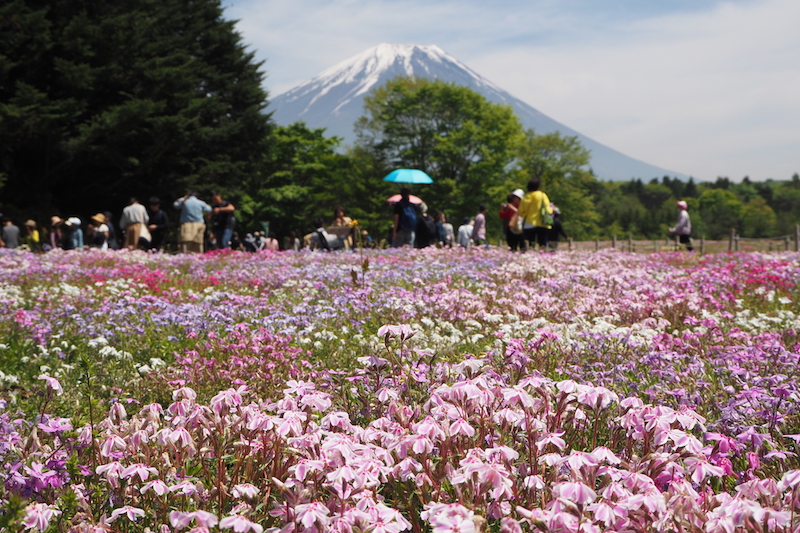 A close up of some light pink flowers in Kawaguchiko , The Fuji Five Lakes area