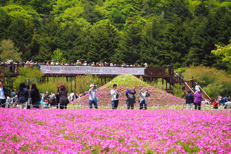 Tourists taking photos of the hundreds and thousands of shibazakura flowers