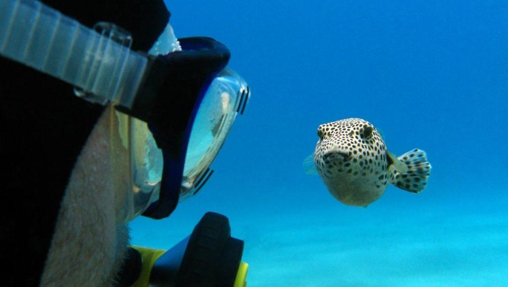 scuba pufferfish